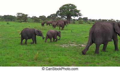 africaine, veau, éléphant