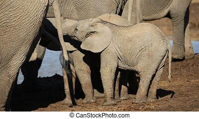 africaine, veaux, éléphant