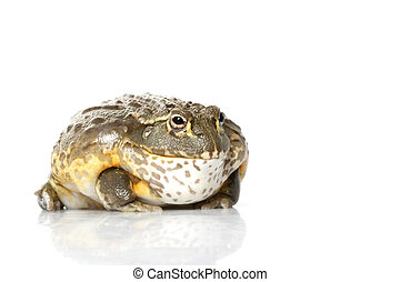 african, 개구리, bullfrog/pixie