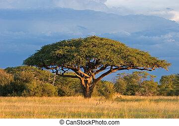 African landscape with a beautiful Acacia tree (Acacia erioloba), Hwange National Park, Zimbabwe, southern Africa