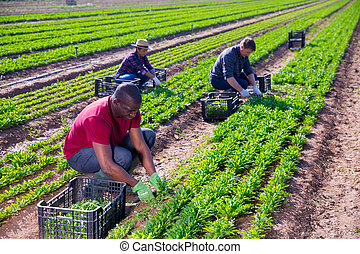 African american farmer collects arugula with workers