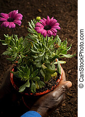 African American Hands Holding Purple Potted Flowers -...