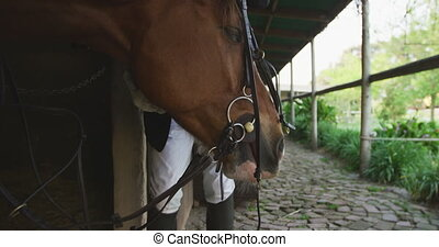 African American man putting bridle on the Dressage horse - ...