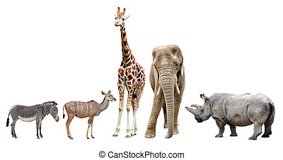 giraffes, elephant, rhino, kudu and zebra isolated on white