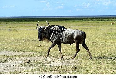 african antilop, wildebeest