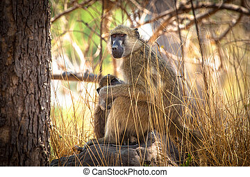 African Baboon mother and baby