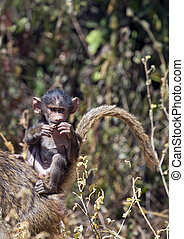 African baby baboon