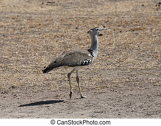 African bird in the savanna