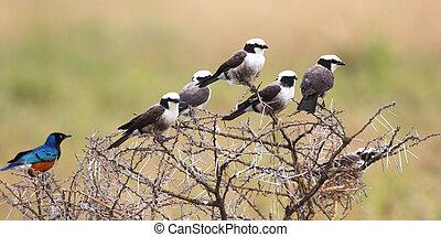 African birds perched on an acacia shrub