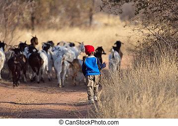 African boy, Kalahari desert, taking the goats home
