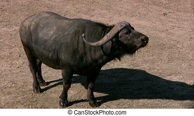 African Buffalo 2