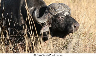 African buffalo bull - Portrait of an African or Cape ...