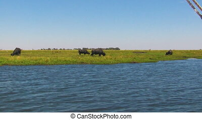 Wild African Cape Buffalo, Syncerus caffer, feeding on grass at river, Chobe Riverfront National Park, Botswana, Africa. Handheld shot from safari boat.