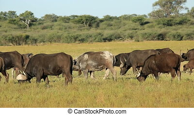 African or Cape buffaloes (Syncerus caffer) with calves walking and grazing, South Africa