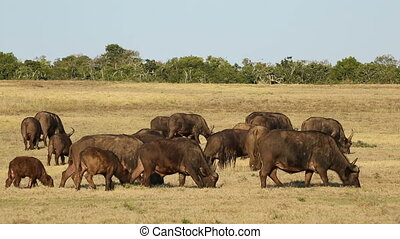 Herd of African buffaloes (Syncerus caffer) grazing in grassland, South Africa