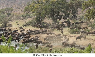 Large herd of African buffaloes (Syncerus caffer) gathering at a river to drink, Kruger National Park, South Africa
