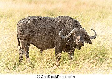 African Buffalo in Serengeti