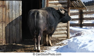 African Buffalo in winter - African Buffalo stands in the...