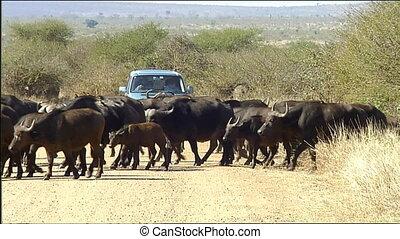 African buffalo or Cape buffalo her - African buffalo or...