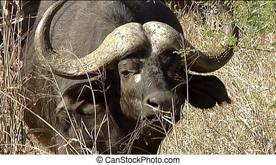Cape buffalo (Syncerus caffer) face