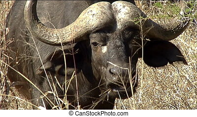 African buffalo or Cape buffalo (Syncerus caffer) face and horns close-up eating grass Kruger national park south africa