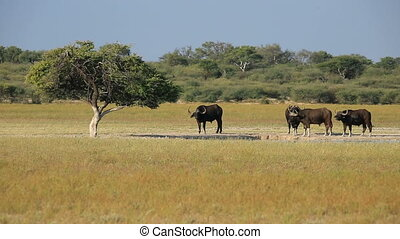 African or Cape buffaloes (Syncerus caffer) at a waterhole, South Africa