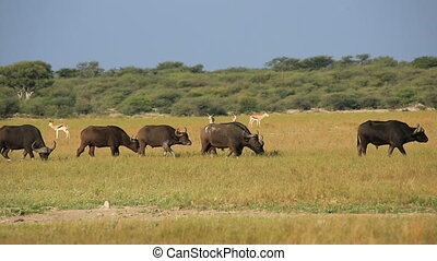 Herd of African or Cape buffaloes and springbok antelopes on the African plains, South Africa