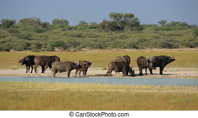 Herd of African or Cape buffaloes (Syncerus caffer) gathered at a waterhole, South Africa