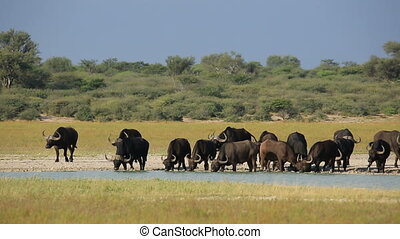 African buffaloes drinking