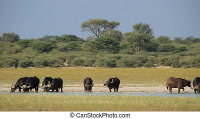 Herd of African or Cape buffaloes (Syncerus caffer) drinking in scenic landscape, South Africa