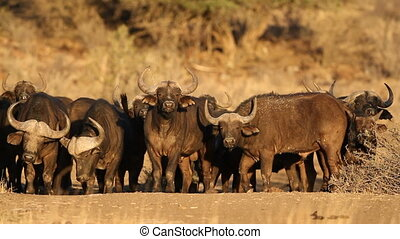 Herd of African or Cape buffaloes (Syncerus caffer) in late afternoon light, South Africa