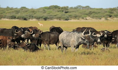 Mud covered African or Cape buffaloes (Syncerus caffer) resting in grassland, South Africa