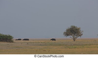 African buffalos cattle side view