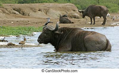 African Buffalos in Uganda (Africa)