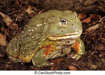 African Bullfrog. Also called a Pixie Frog.
