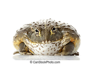 African Bullfrog/Pixie Frog (Pyxicephalus adspersus) on white background.