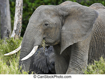 African Bush Elephant and her young