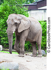 african bush elephant in zoo
