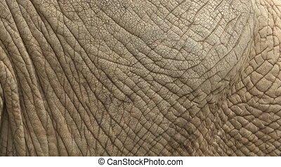 African bush elephant (Loxodonta africana) skin