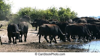 African Cape Buffalo, Chobe river, Botswana safari wildlife