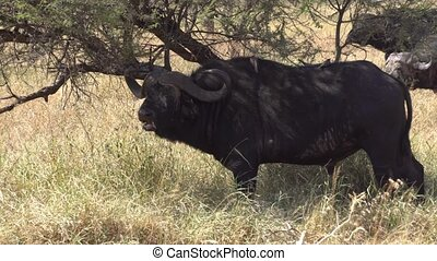 African Cape Buffalo Eating Grass in Savanna Under Tree Shade. Animal in Nature