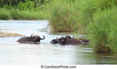 African Cape Buffalo Herd Cooling off in Water