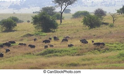 African Cape Buffalo Herd in Migration in Meadow of African Savanna