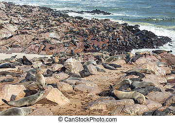 african carnivore brown seal in Cape Cross, Namibia