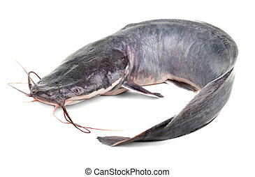 African catfish  Clarias gariepinus or african sharptooth    stock