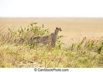 African cheetah on a hill in Serengeti