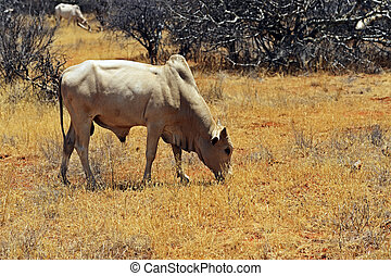 African Cow