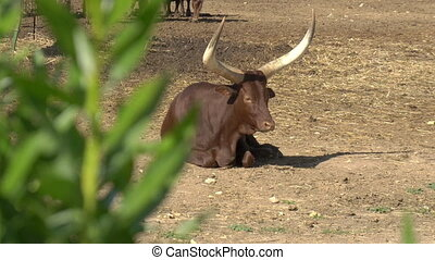African cow lies on the ground. View of the cow from behind the bush. Cow in the open spaces of Africa
