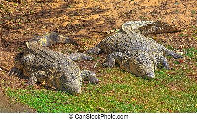 African Crocodiles resting - Two African Crocodiles,...