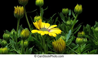 African Daisy Time-lapse - Time-lapse of African Daisy/Cape...